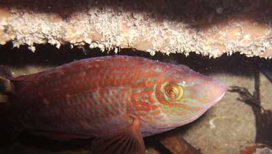 main-sfscuba-red-fish-1